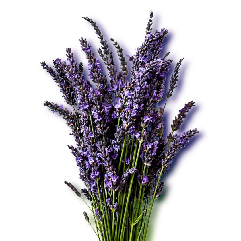 Lavender Bouquet still life against white backround