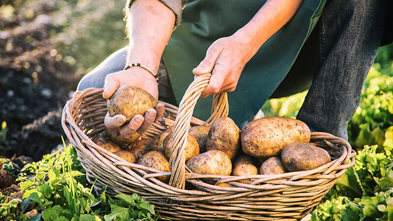 A person carrying a basket of potatoes