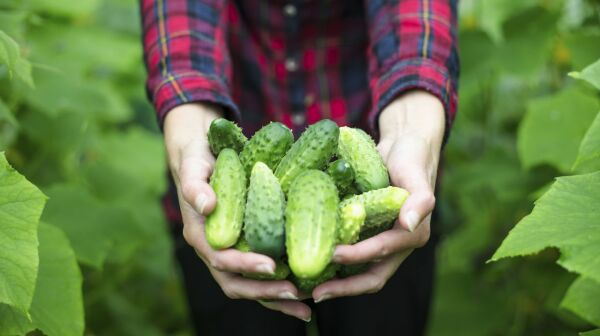 woman holding fresh cucumbers in a field