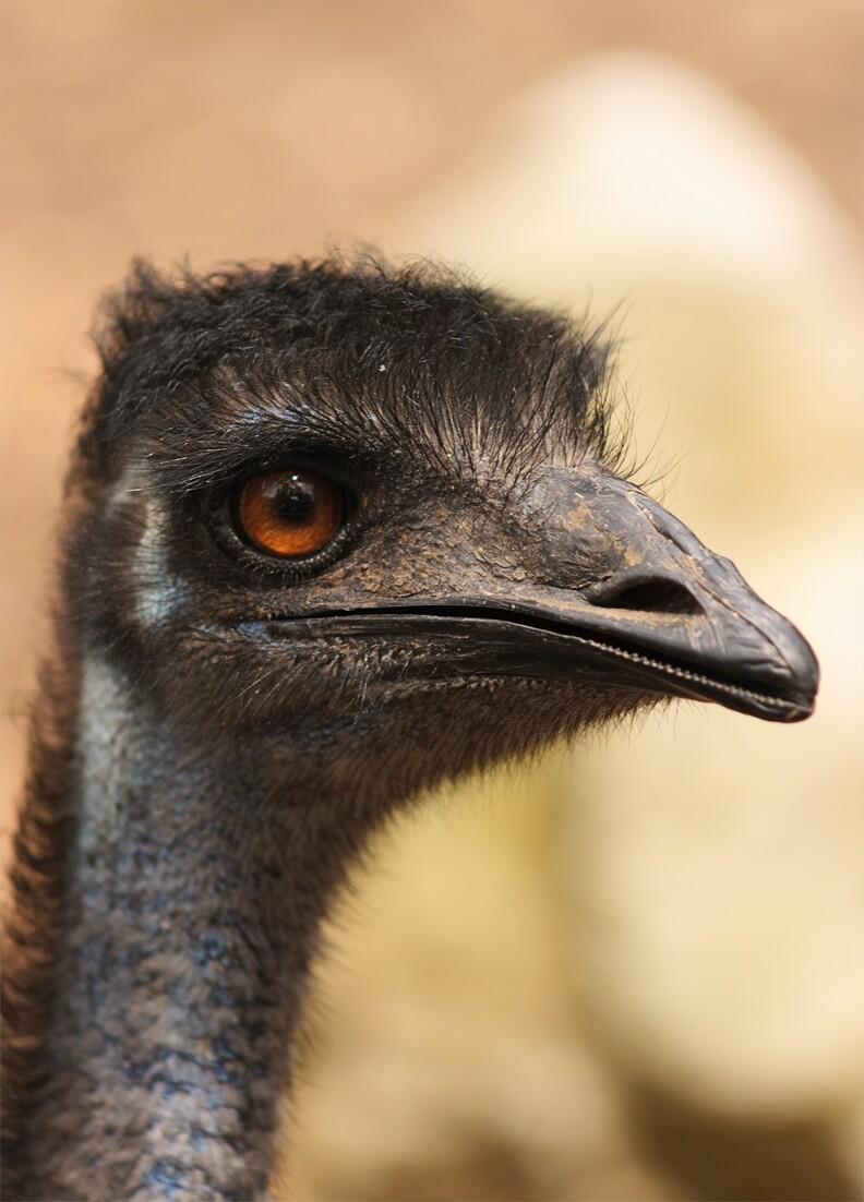 flickr-aussiegall-emu