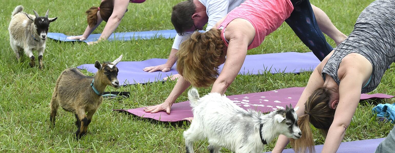AARP, Goat Yoga, The Girlfriend