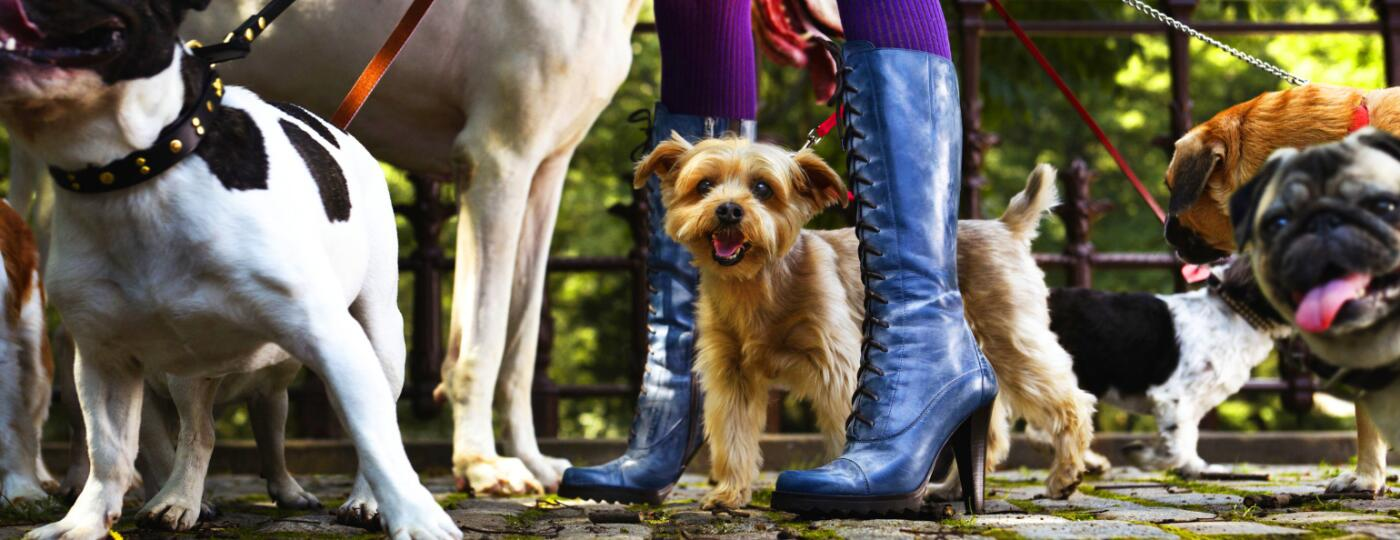 dogs being walked by woman in heels