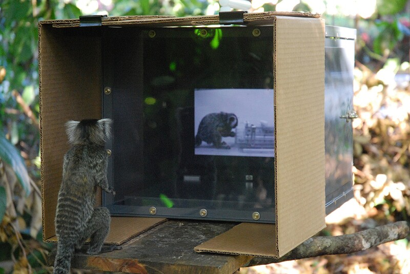 Marmoset Watching Video in Forest