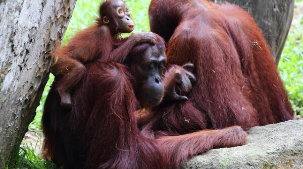 Orangutan Family Singapore Zoo