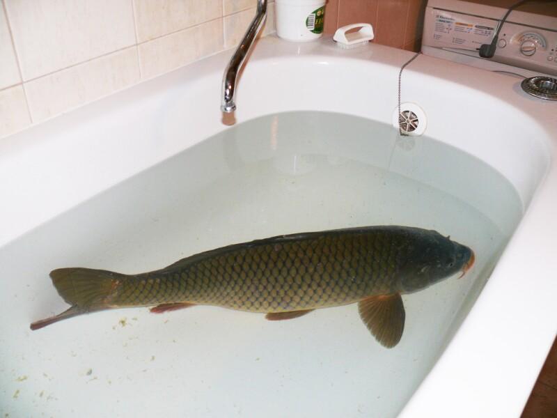 Carp (Fish) Swimming in Tub