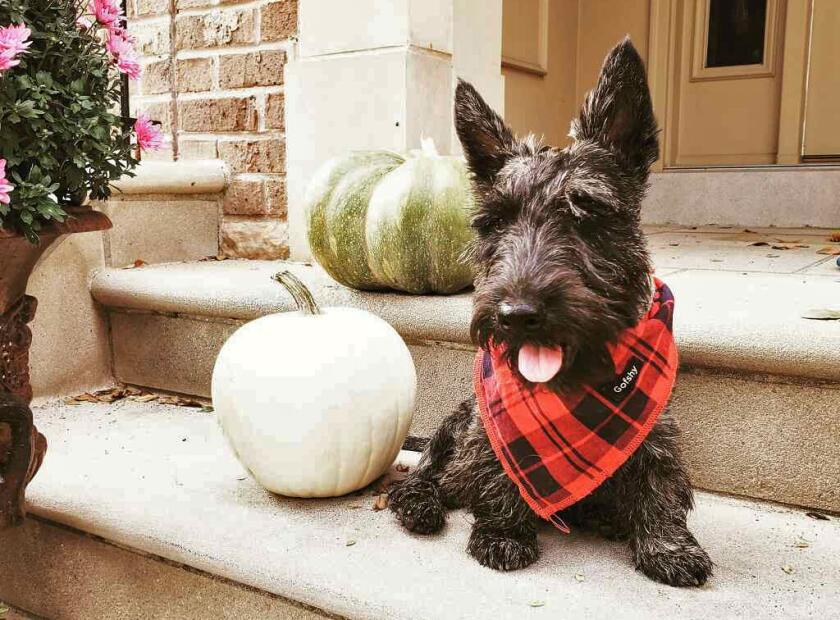 A brindle Scottish Terrier with a plaid scarf named Finn