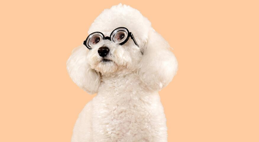a white fluffy dog looking to the side, with reading glasses on, orange background