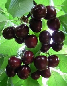 Yeager blog cherries1
