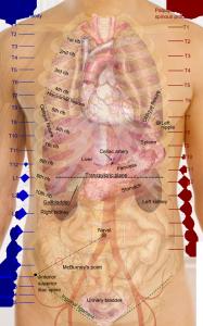 Bodily organs