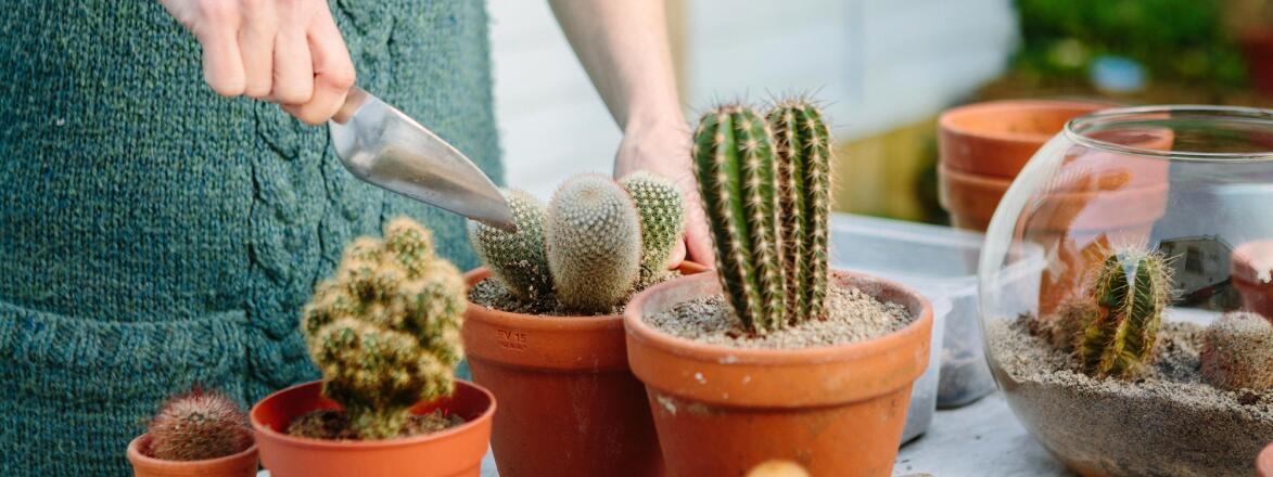 woman repotting cactus plants at her home