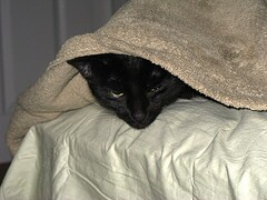 Cat under covers
