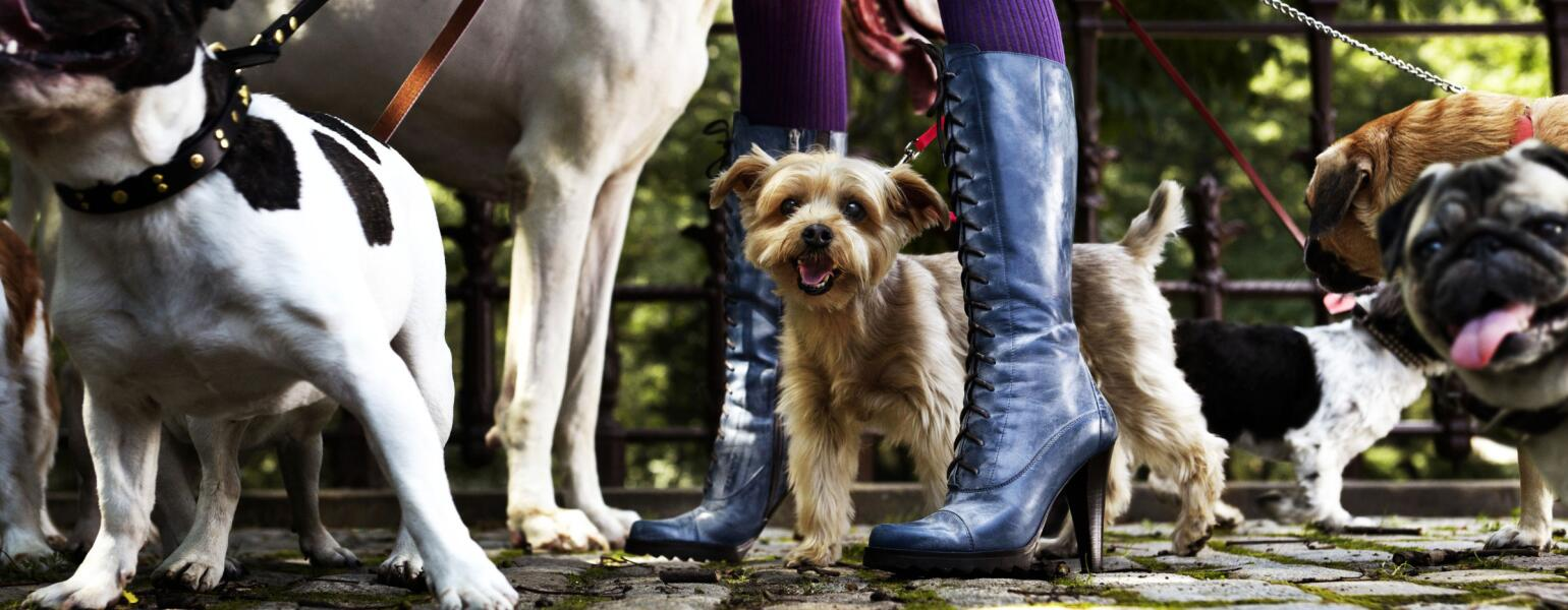 Womans boots on a cobblestone street with a pack of dogs shes walking