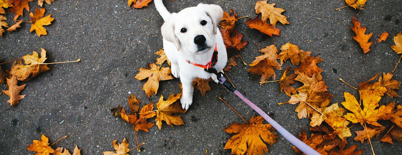 dog standing in leaves with leash being held onto by dog walker