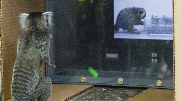 Marmoset watching video