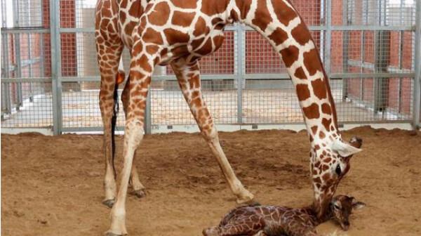 giraffe-dallas-zoo-twitter