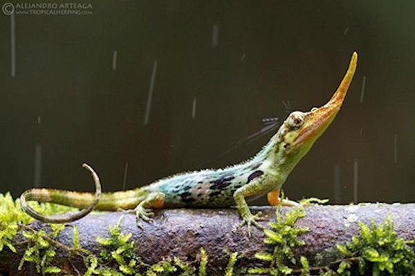 Pinocchio lizard