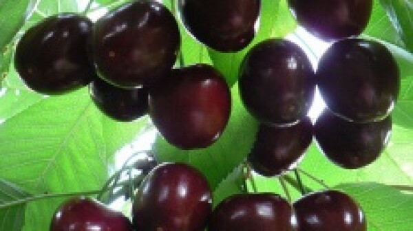 Yeager blog cherries1