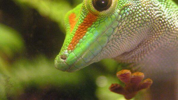 Phelsuma Gecko