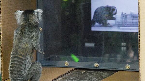 Marmoset watching video