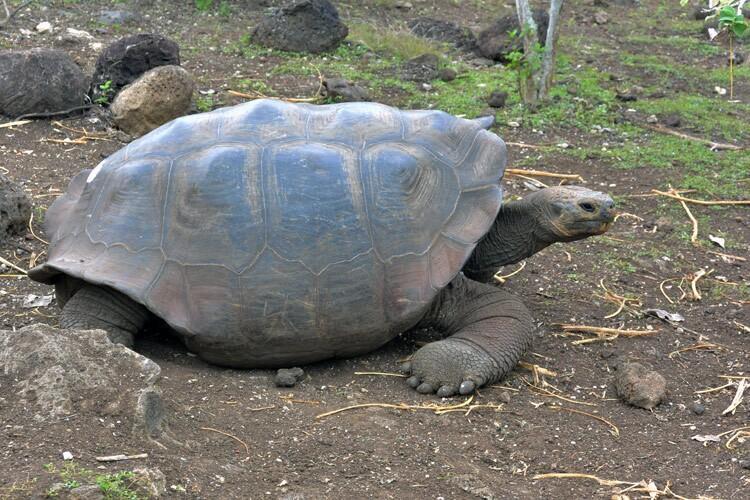 Giant Tortoise Galapagos Ecuador