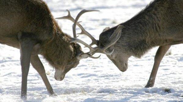 Two Elk Locking Horns