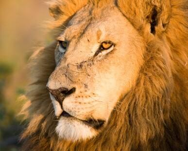 lion000015967309