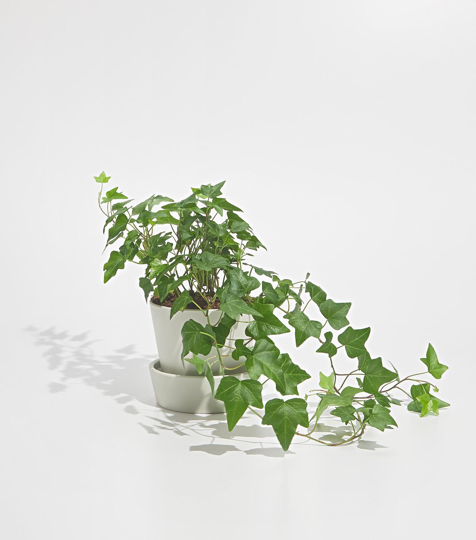 17122_AARP_Plants_&_Books_0396C_Eng_Ivy.jpg