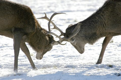 Two Elk Locking Horns