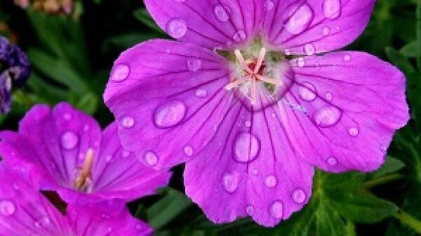 A jeff blog purple flower