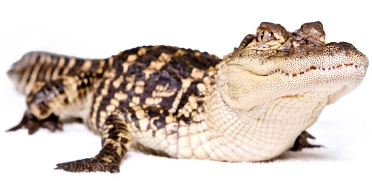 alligator-istock-spfoto