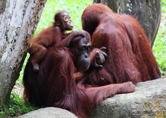 Orangutan family at Singapore Zoo