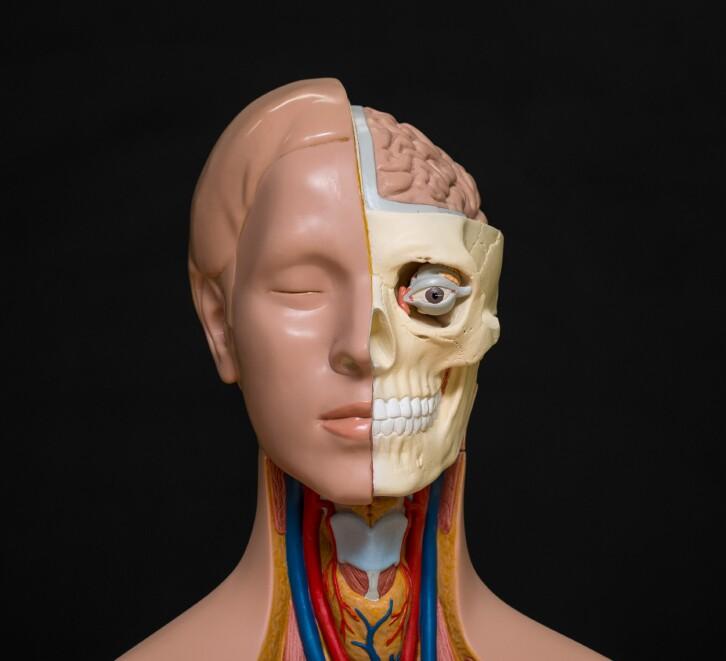 Human head anatomy model isolated on the dark background