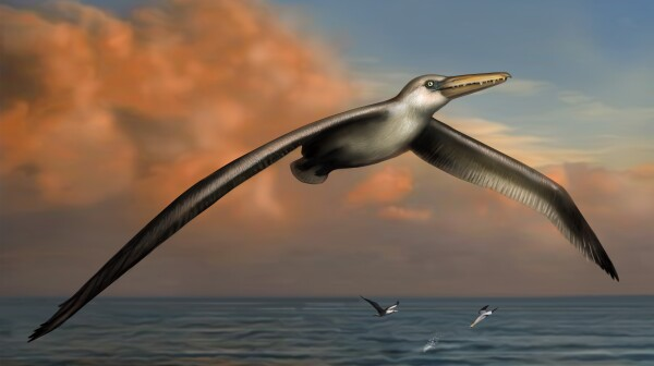 pelagornis-bird-bradford-bruce