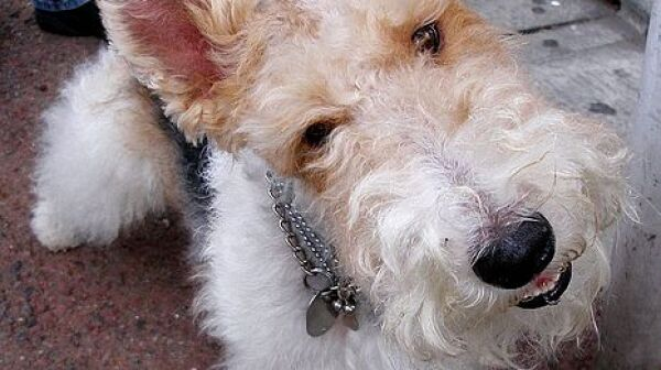 466px-Jack_The_Wire_Fox_Terrier