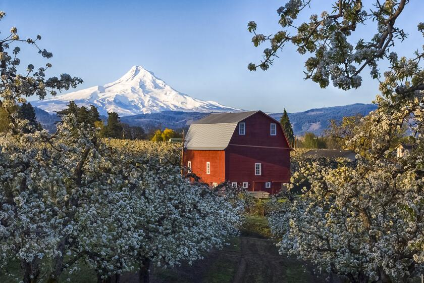 A pear orchard near Mount Hood in Oregon.