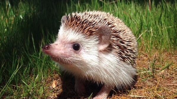 biddy-hedgehog