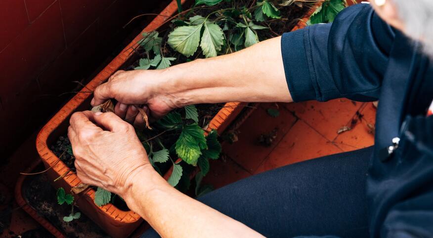 Mature hands gardening