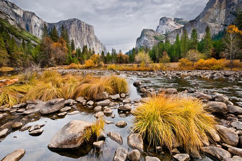 Grasses and Oak Trees growing along the Merced River display their fall colors beneath the towering monolith of El Capitan in Yosemite National Park, California, USA.