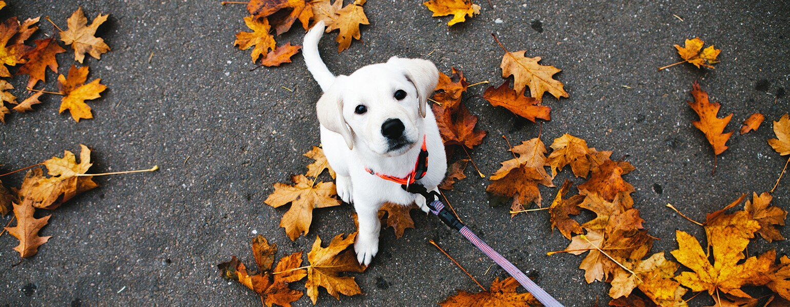 image_of_white_dog_on_leash_with_leaves_Stocksy_txpad25f0c0CrT200_OriginalDelivery_574328_1540