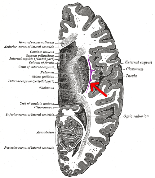 Brain cross section - Claustrum
