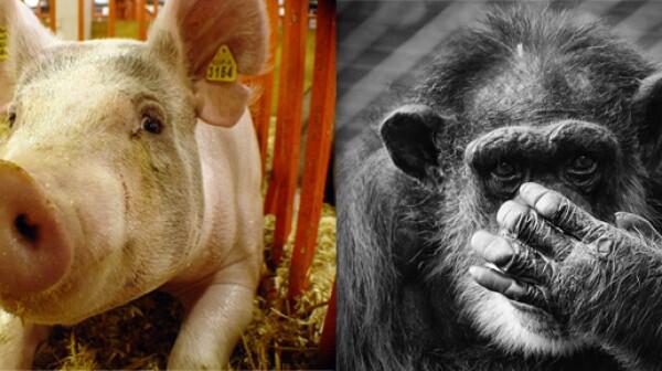 pig-chimp