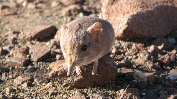 New elephant shrew