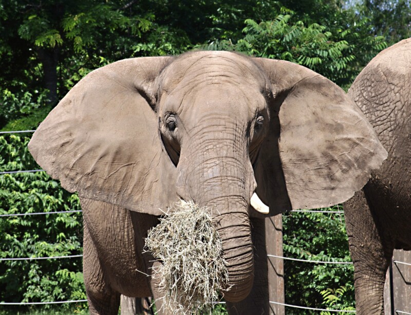 African Elephant Eating in Zoo