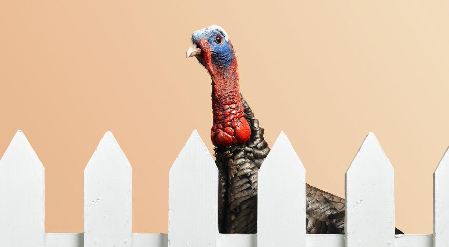 a turkey behind a white picket fence in front of a pale orange background
