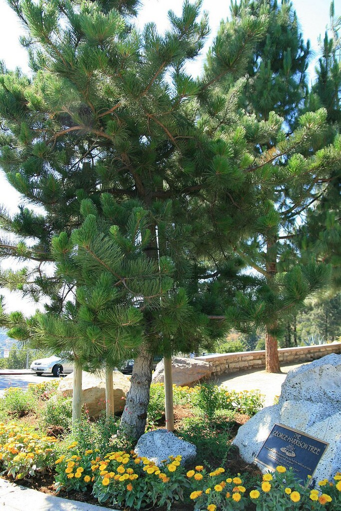 George Harrison Tree, Hollywood Trail, Griffith Park, Los Angeles