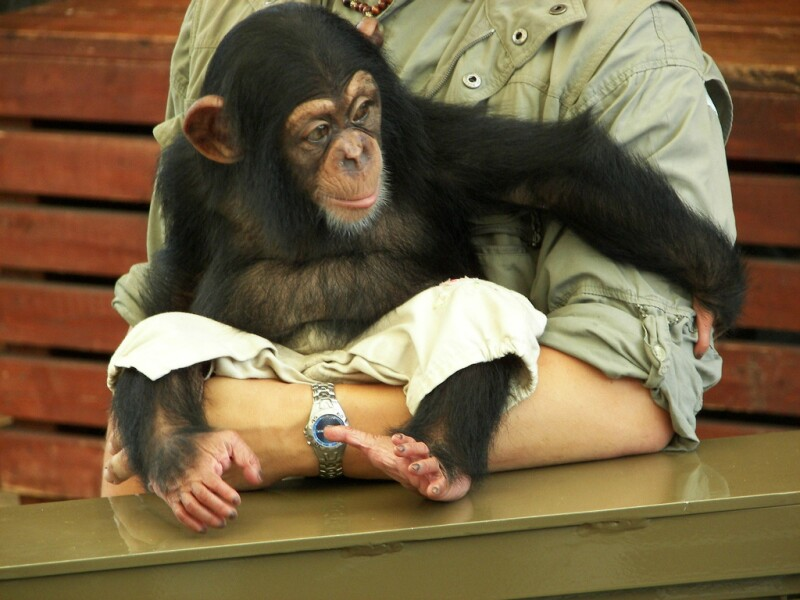 A chimpanzee with lovely feet