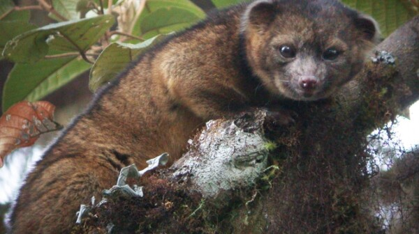 Photo of Olinguito