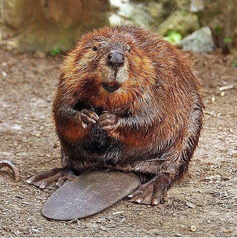 478px-American_Beaver