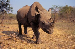 400-black-rhinoceros-safari-news-roundup