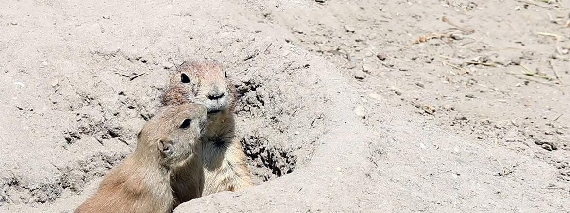 two prairie dogs coming out of hole in the ground